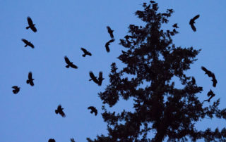 Crow Roost at Dusk