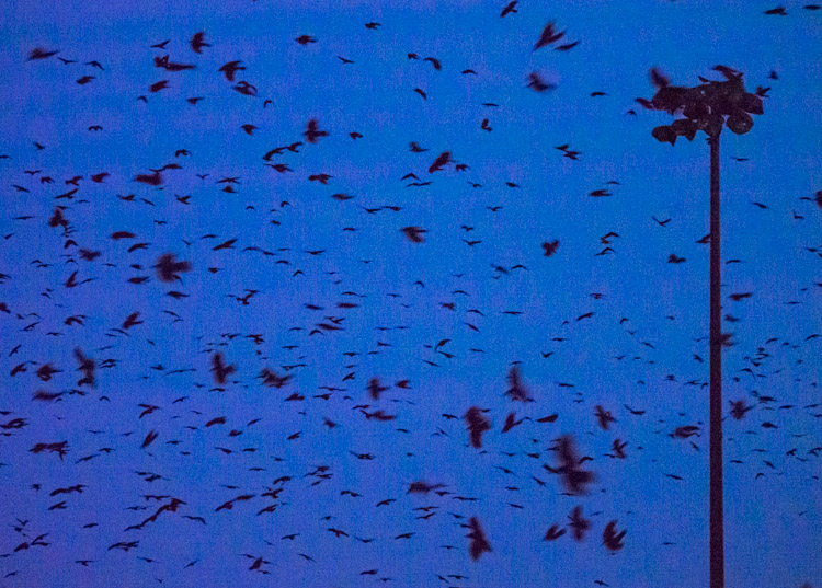 Crows Roosting at Dusk