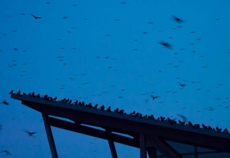 Crows at UW Bothell Campus