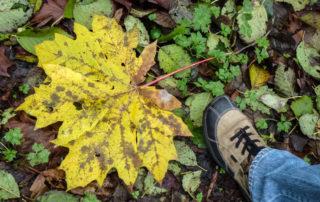 Gigantic Maple Leaf