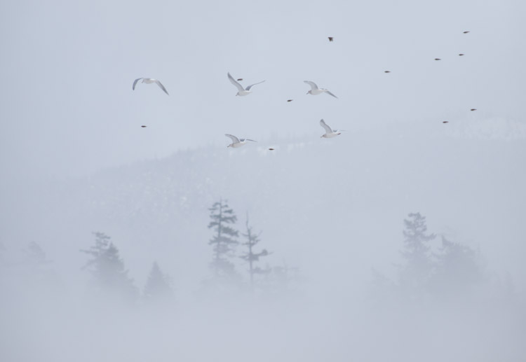 Gulls Flying in the Fog