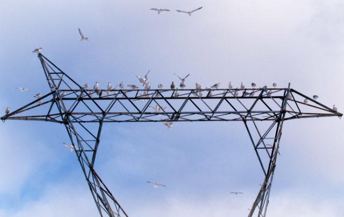 Gulls at British Columbia Power Substation