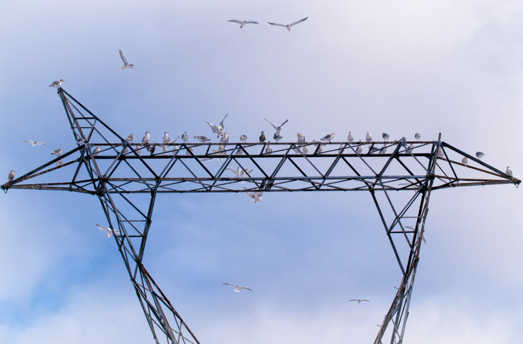 Gulls at British Columbia Power Substation