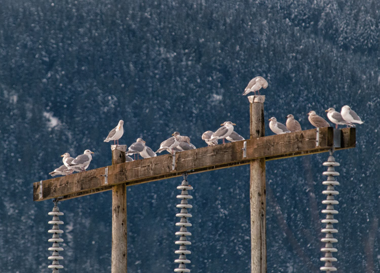 Gulls at Squamish Power Substation