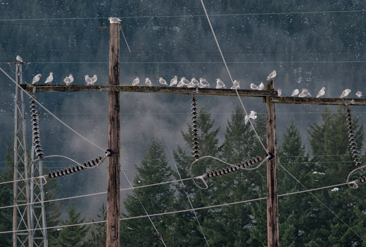 Gulls at Squamish Power Substation