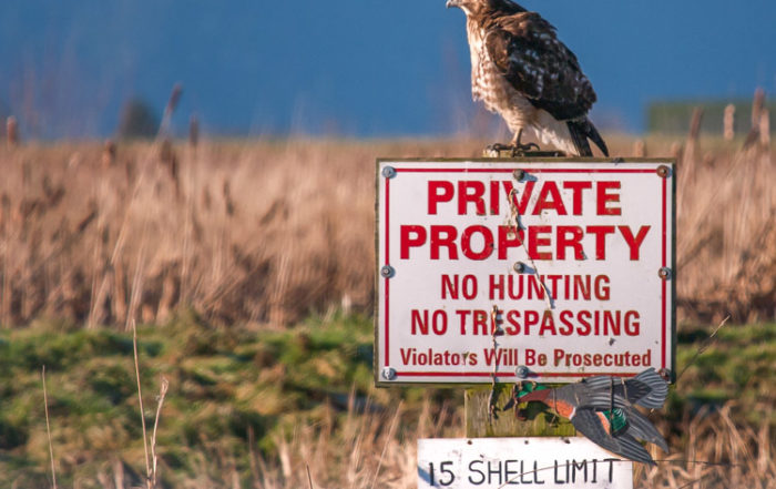 Hawk Perched on No Hunting Sign