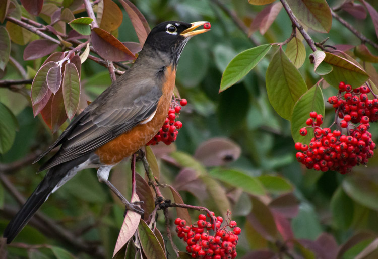 Robin Eating Cotoneaster Berries