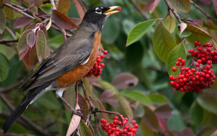 Robin Eating Cotoneaster Berries in Seattle