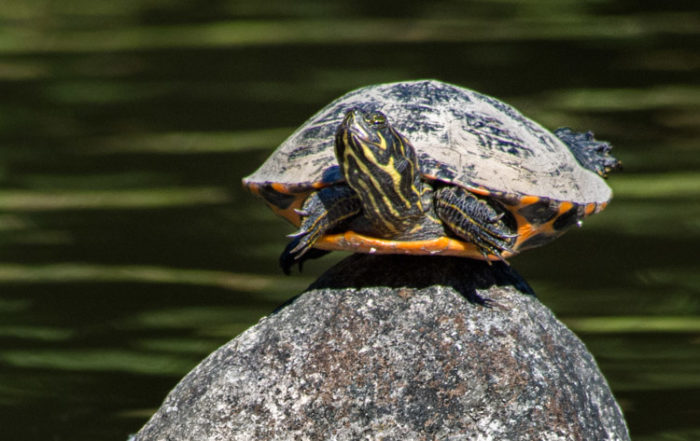 Red-eared Slider on Rock