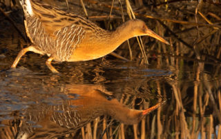 Clapper Rail Reflected at Sunrise