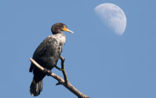 Double-Crested Cormorant and Moon