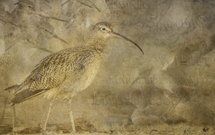 Curlew Dreams