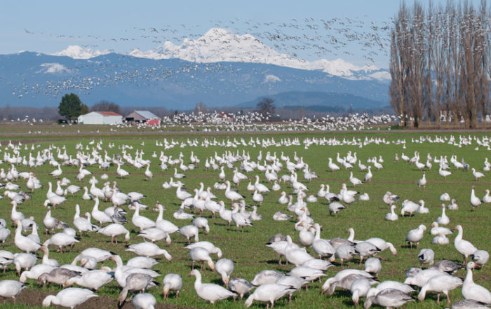 Snow Geese Taking Flight on Fir Island