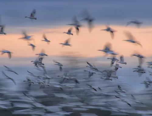 Studies in Ghost Geese