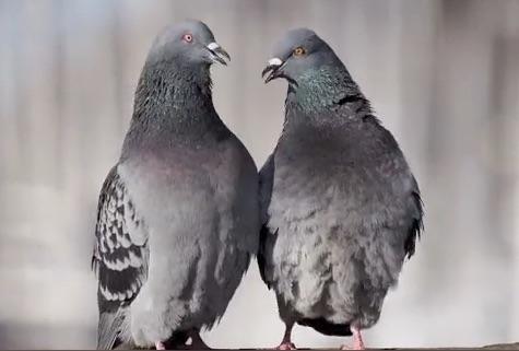 Pigeon Courtship