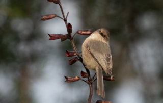 Bushtit on Vertical Branch