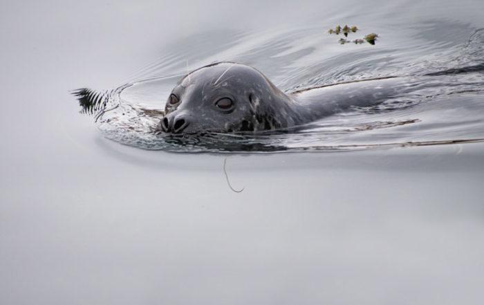 Harbor Seal in Elliott Bay Seattle