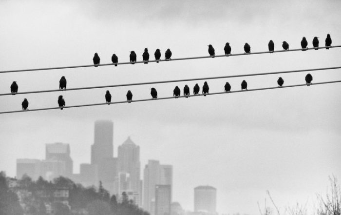 Seattle Birds on a Wire
