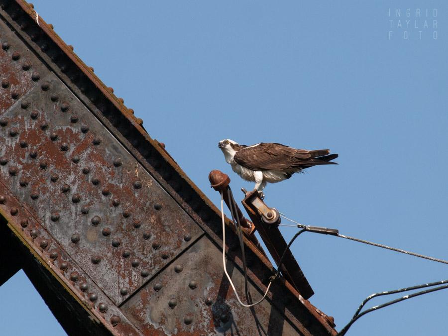 Osprey Perched on Railroad Bridge