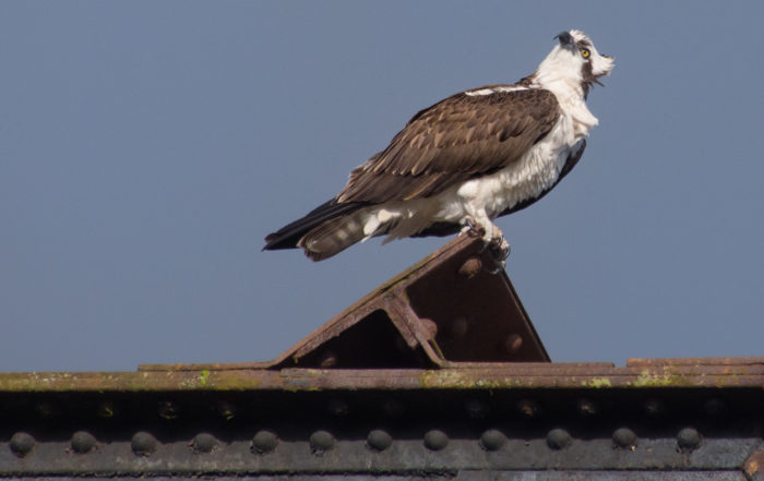Osprey at Ballard Locks