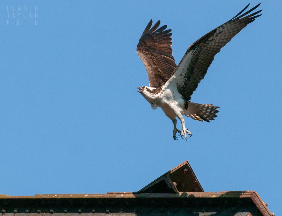 Osprey at Ballard Locks in Seattle