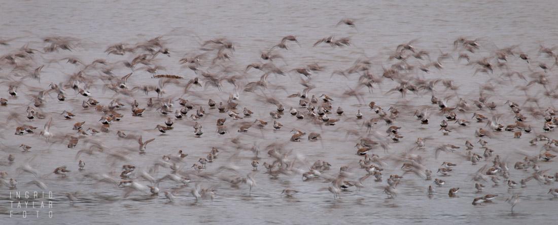 Grays Harbor Shorebird Migration