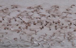 Grays Harbor Shorebirds