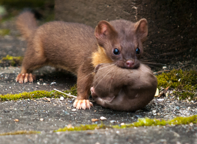 Grays Harbor Long-Tailed Weasel with Kit Baby