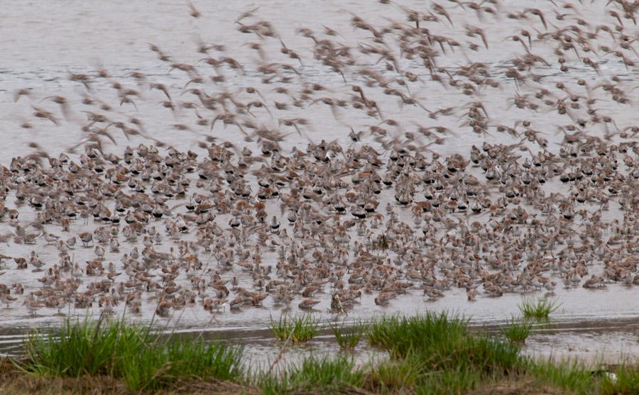 Shorebird Migration at Grays Harbor