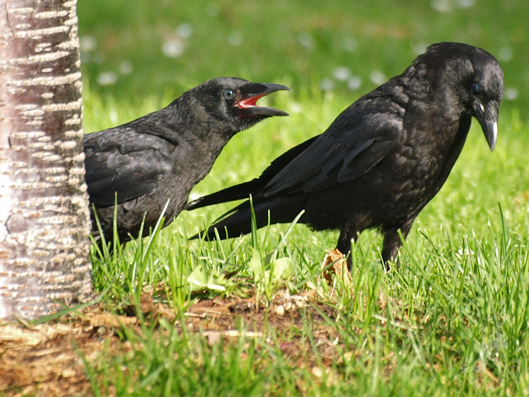 Fledgling Crow and Parent