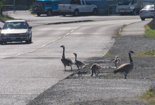 Canada Goslings by Road