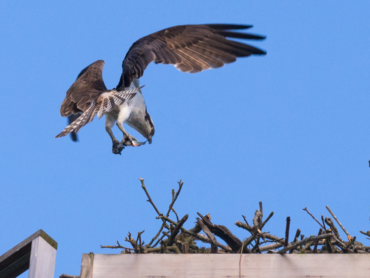 Osprey Bringing Fish to Nest