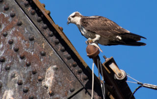 Osprey Sleeping with Fish in Talons