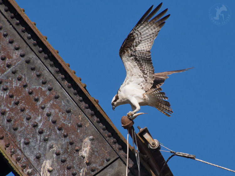 Osprey on Railroad Bridge