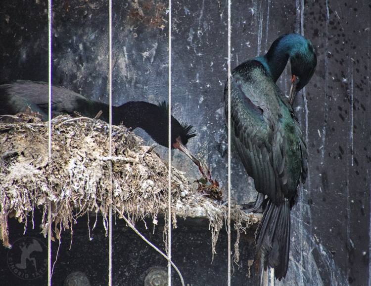 Pelagic Cormorants Nesting
