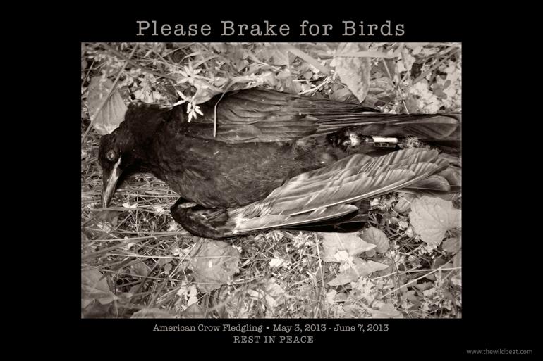 Please Brake for Birds