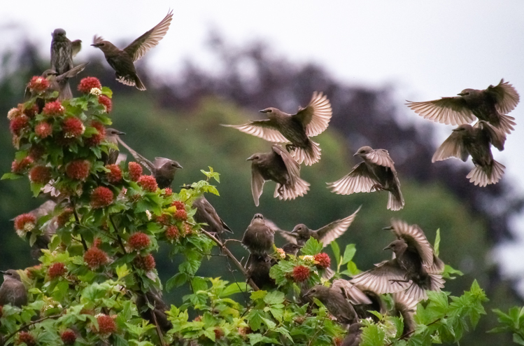 European Starling flock in Seattle