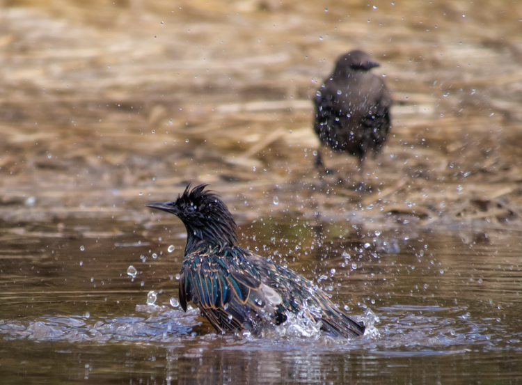 European Starlings Bathing
