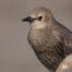 Immature European Starling