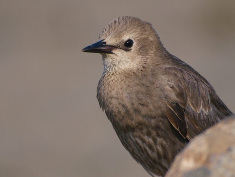 Immature European Starling