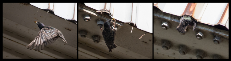 European Starling Nest in building