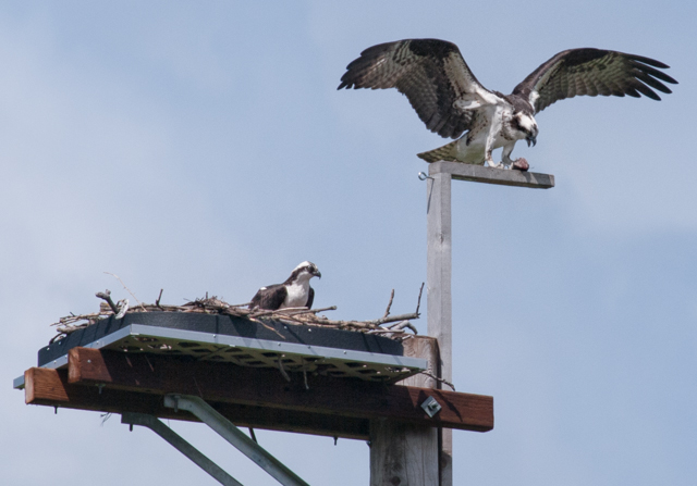 Two Ospreys on Nesting Platform