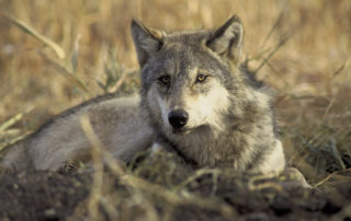 Gray Wolf USFWS Photo