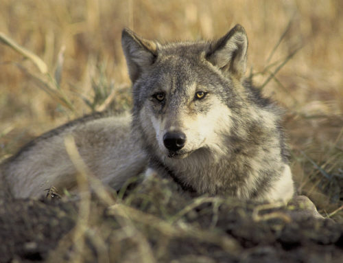 In Their Own Words … Protecting Gray Wolves From Their Haters