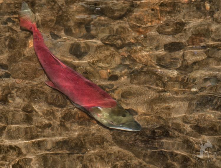 Red Sockeye Salmon in River