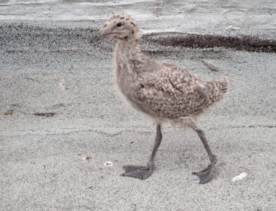 Glaucous-winged Gull chick