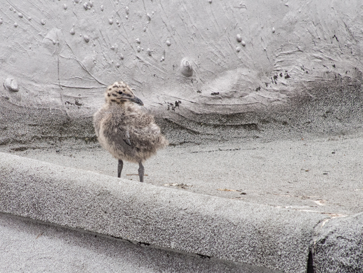 Gull Chick on Seattle Rooftop