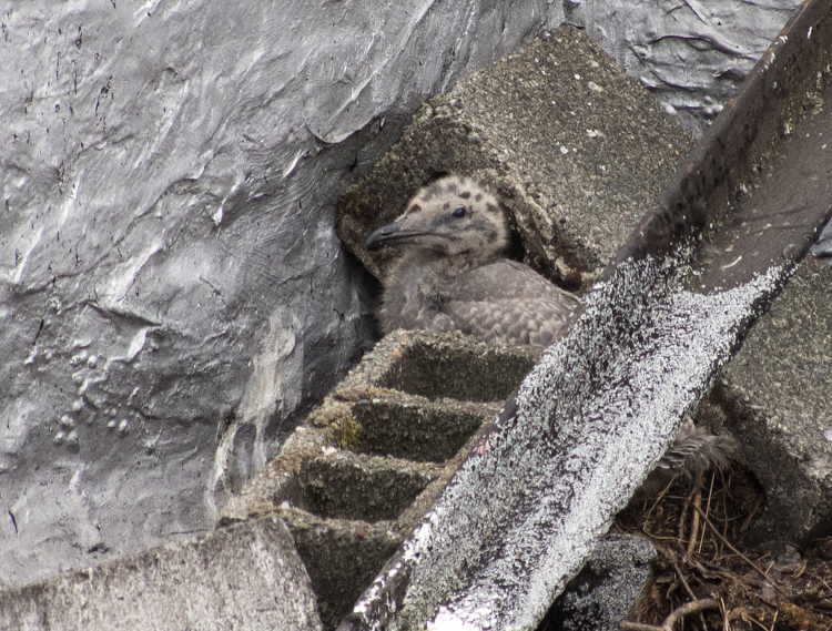 Gull chick on Seattle rooftop nest