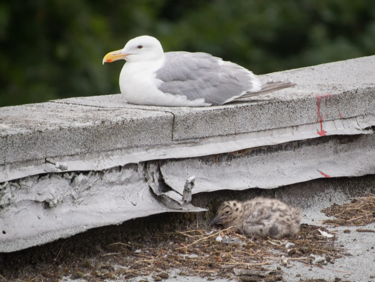 Glaucous-winged Gull parent and chick on nest