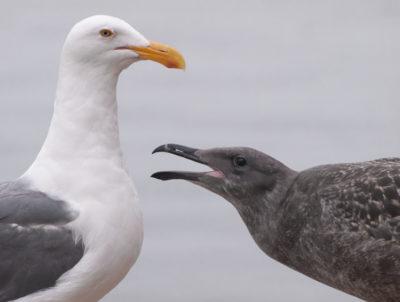 Gull Parent and Juvenile
